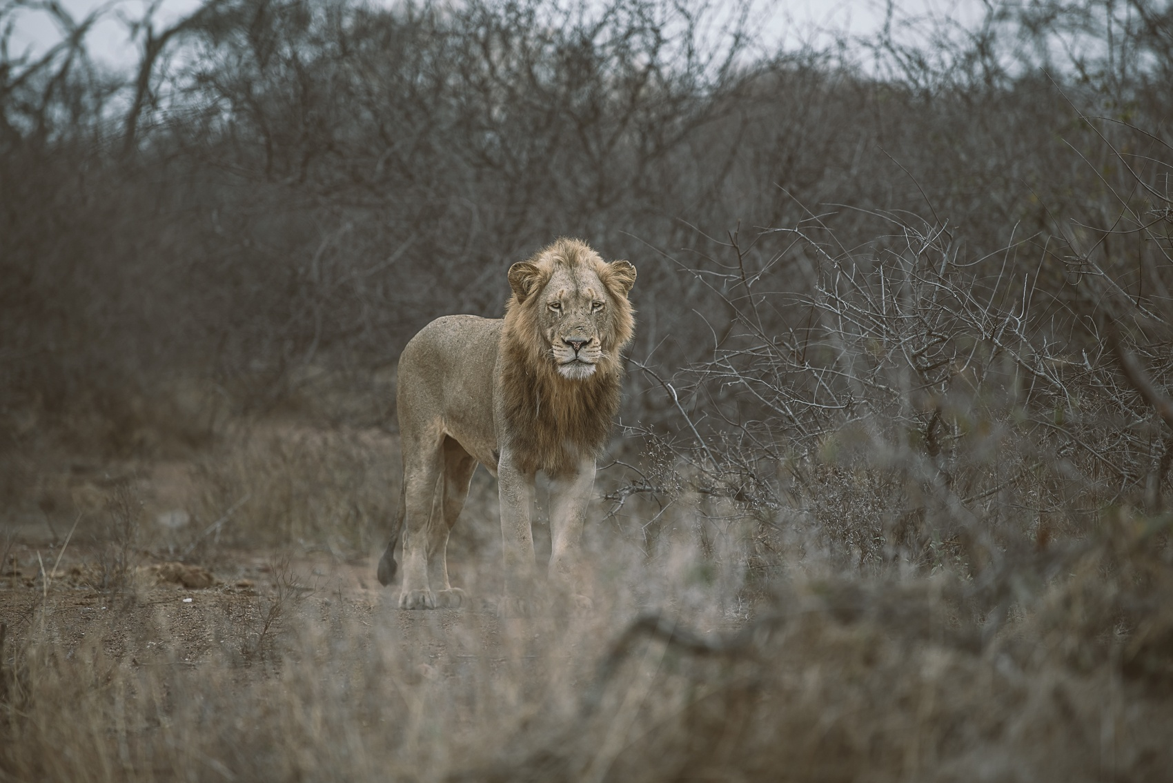 Safari 7 - Lion