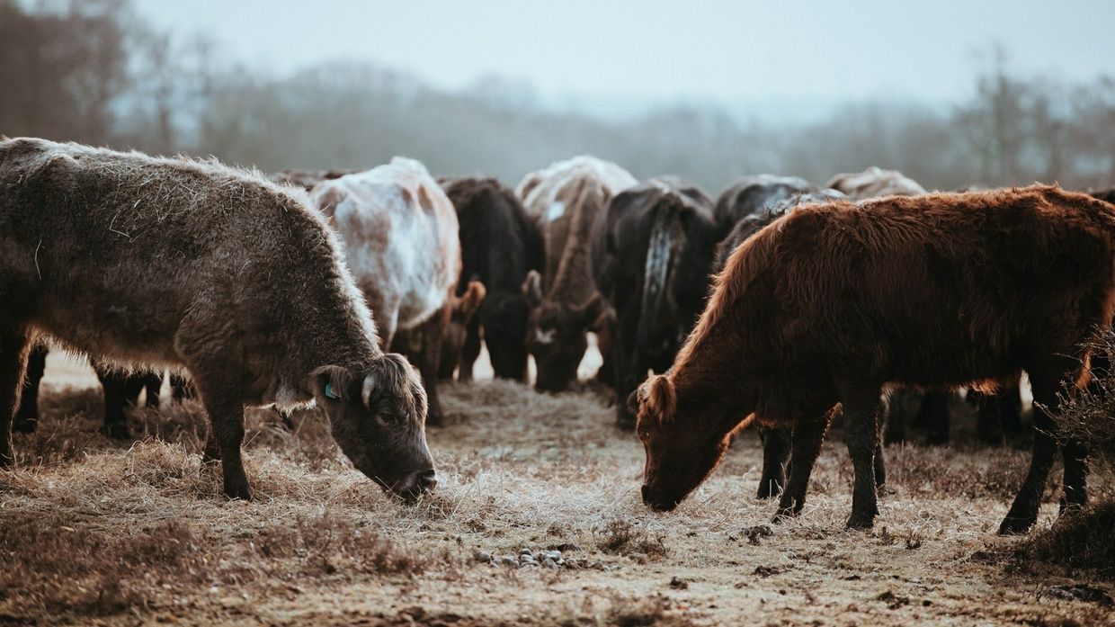 Cow Stock Photo Collection [Free Download]