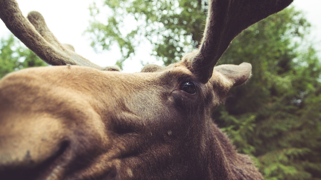 Elk Stock Photo Collection [Free Download]