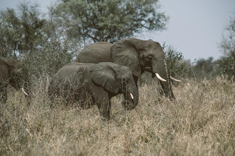 Safari 9 - Elephant
