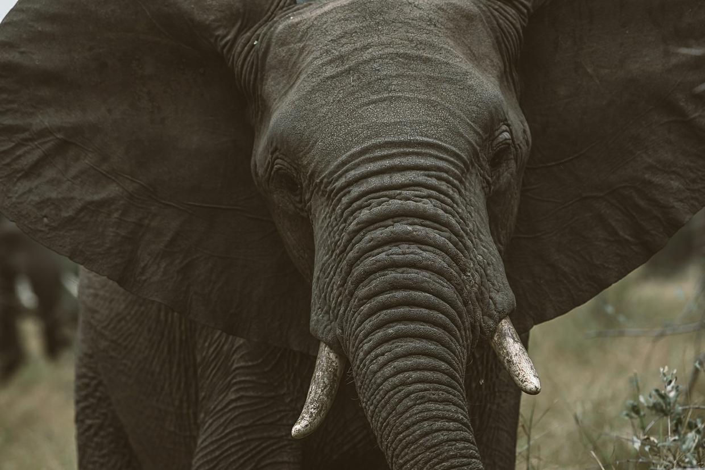 Safari 6 - Elephant