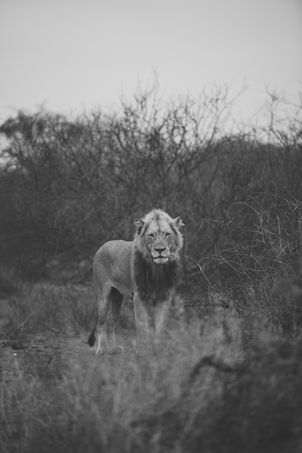 Safari 2 - Lion