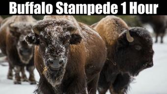 Ambience Hub - Buffalo Stampede