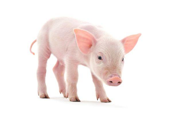 PIG AR MARKER