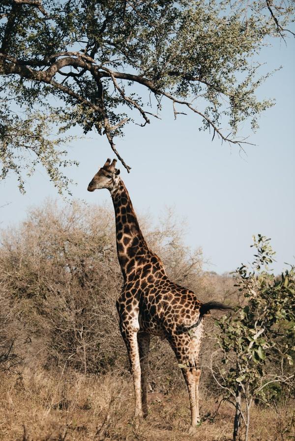 Safari 11 - Giraffe