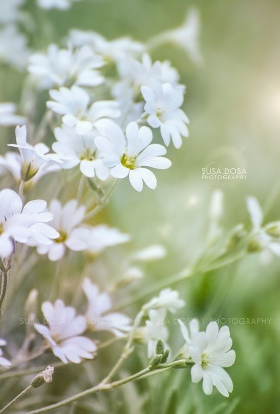 - White Flowers -