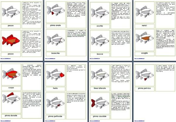 Nomenclature Montessori 6-9 anni PARTI DEL PESCE stampato minuscolo