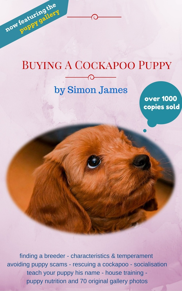 Buying A Cockapoo Puppy