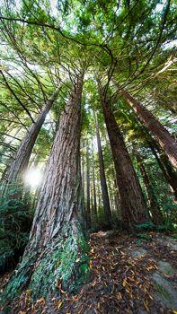 Cali Redwoods